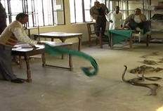 Com uma toalha, funcionário tenta se defender das serpentes-AP/Reprodução