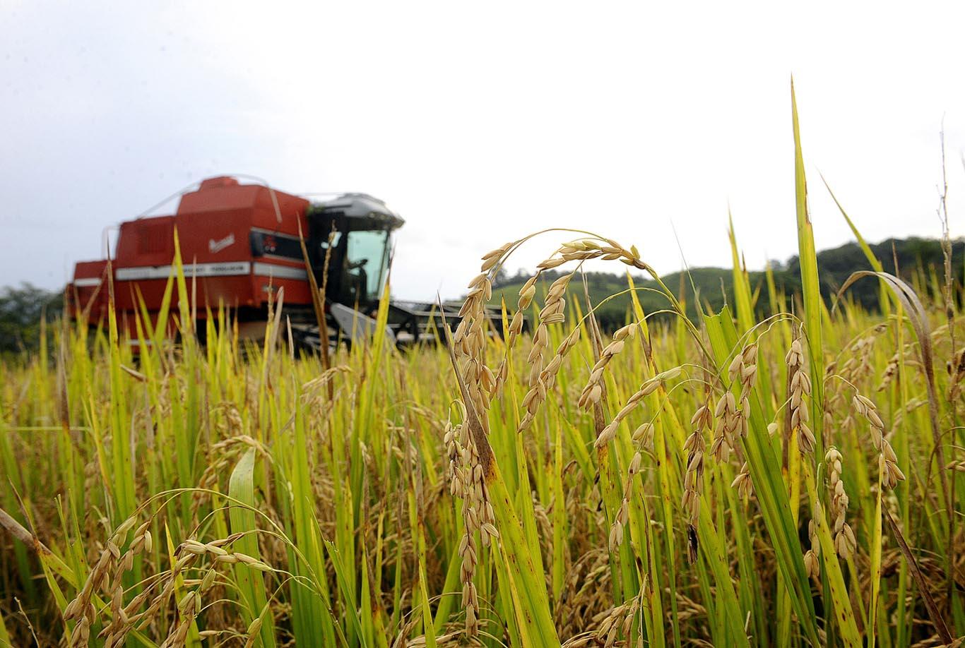 Depois da semeadura os agricultores precisam controlar as ervas daninhas com uso de herbicidas e continuam o processo de aduba o e controle de pragas e